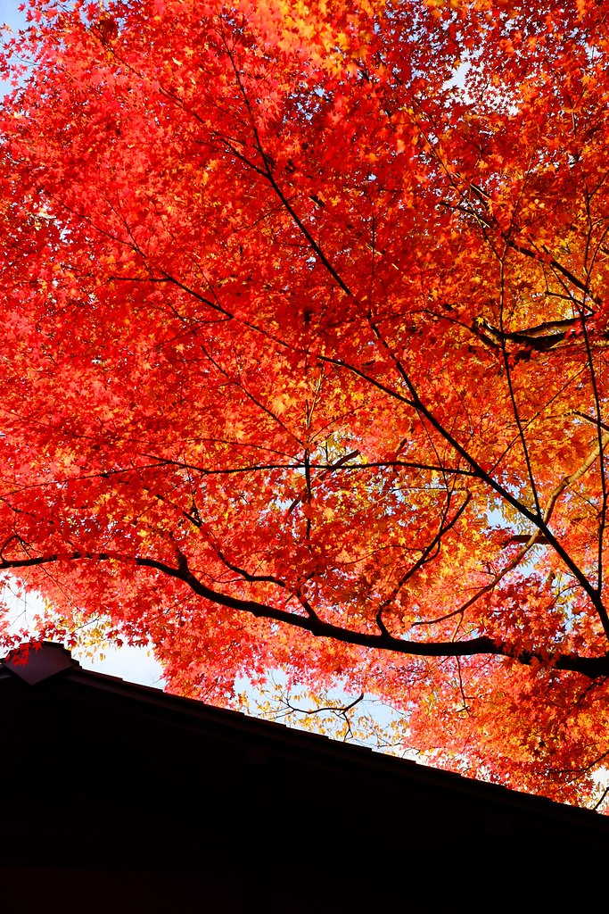 roof of a temple and japanese maple