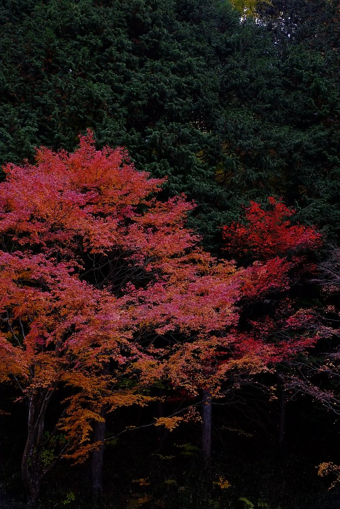 Japanese maple in front of Conifer forest